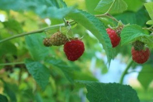 raspberry-copy